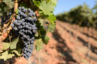 scheid%20vineyards%202013-474.jpg